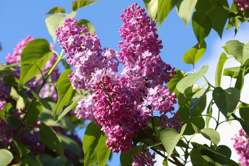 Krzewy, które noszą oficjalną nazwę lilak, najczęściej...