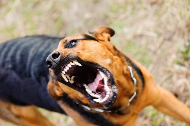 Naukowcy z The Ohio State University College of Medicine i The Ohio State University Wexner Medical Center przeprowadzili badania, w których zbadali to, które psy najczęściej gryzą dzieci. Zwrócono uwagę m.in. na rasę oraz budowę psa. Wyniki mogą Was zaskoczyć!Kliknij dalej i zobacz, które rasy psów gryzą najczęściej