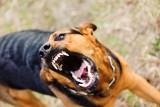Rasy psów, które najczęściej gryzą dzieci. Jakie psiaki znalazły się na niechlubnym podium? Rasy psów, które najczęściej atakują dzieci