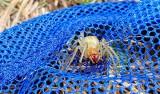 Uwaga, bardzo jadowity pająk w Wielkopolsce! Kolczak zbrojny pojawił się w lesie koło Obornik