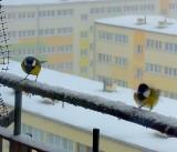 Skrzydlaci sąsiedzi głodują i marzną. Ptaki w potrzebie