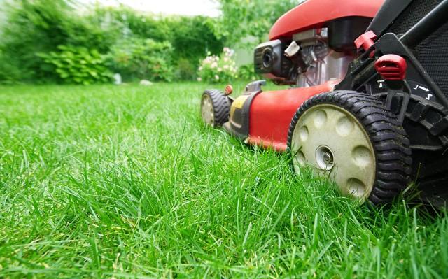 Skoszoną trawę warto wykorzystać w ogrodzie. Przyda się m.in. do nawożenia i ściółkowania.