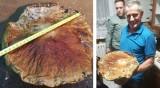 Borowik gigant znaleziony w lesie w gminie Kcynia w Kujawsko-Pomorskiem [zdjęcia]