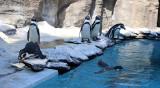 Wizyta w Śląskim Ogrodzie Zoologicznym. Zobaczcie wesołe pingwiny, króla zwierząt i przesympatyczne surykatki