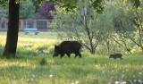 Słupska ekolożka przekonuje, że ktoś zachęca dziki do wchodzenia do miasta [wideo]