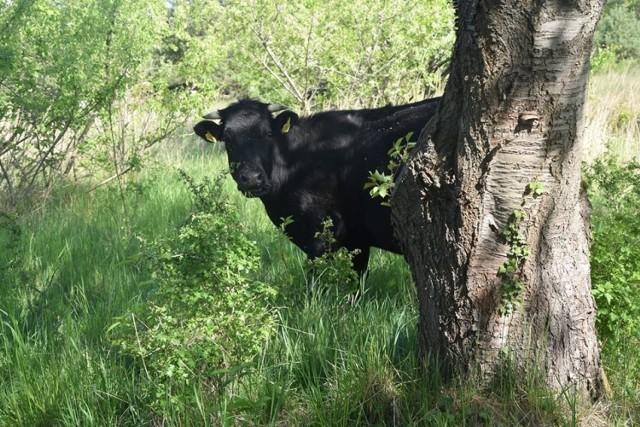 Na zdjęciach wolne krowy z gminy Deszczno