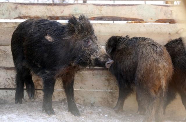 Zwierzęta dotychczas były odławiane i wywożone z dala od Gdyni. Obecnie zabraniają tego przepisy.