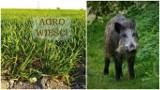 Agro wieści tygodnia: sucho na polach, nowe warunki szacowania szkód