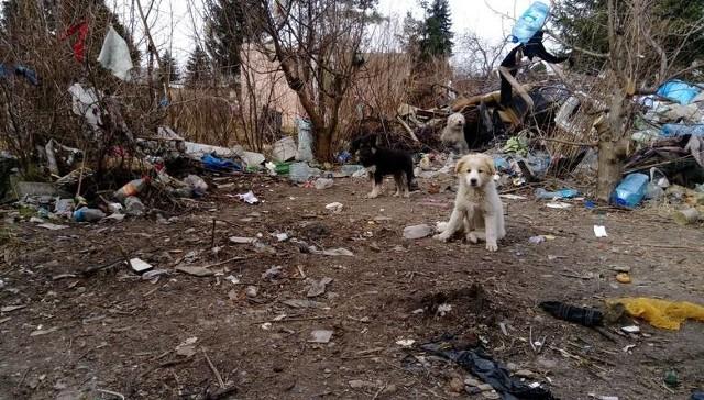 W takich warunkach żyją psy z koczowiska przy ul. Lechickiej