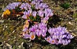 Kraków. Śladami wiosny. Kwitną przepiękne krokusy i przebiśniegi [ZDJĘCIA]
