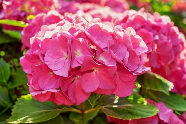 Różowe kwiaty wyglądają bardzo ładnie w ogrodach i na balkonach. Zobacz, co warto mieć.