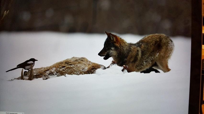 Czy wilk poluje na zwierzęta gospodarskie, człowieka?...