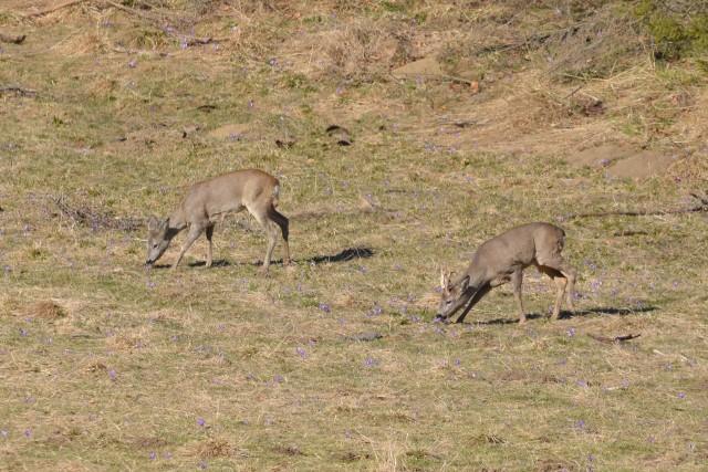 W środku dnia łanie pasą się na tatrzańskiej polanie pełnej krokusów