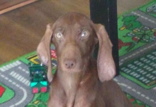 Dyżurny bielskiej Policji w sobotę otrzymał zgłoszenie o psie, który błąka się po miejscowości Orla. Na miejsce udał się policjant, który na co dzień pełni funkcję przewodnika psa służbowego. Mundurowy odnalazł szczeniaka. Zwierzę było skrajnie wyczerpane i z trudnością poruszało się o własnych siłach.
