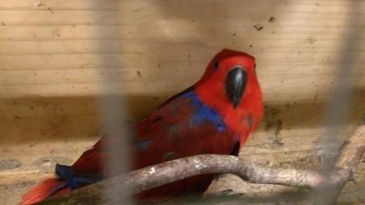 Policjanci na Giełdzie Zwierząt w Łodzi 24 maja zatrzymali 36-latka, który nielegalnie chciał sprzedać cenną i rzadką papugę chronioną Konwencją Waszyngtońską. Chodzi o papugę Electus Roratus potocznie zwaną Lorą Wielką.