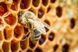 Jak działa apiterapia? Właściwości zdrowotne produktów pszczelich, wartość odżywcza, zastosowanie w leczeniu i kosmetyce