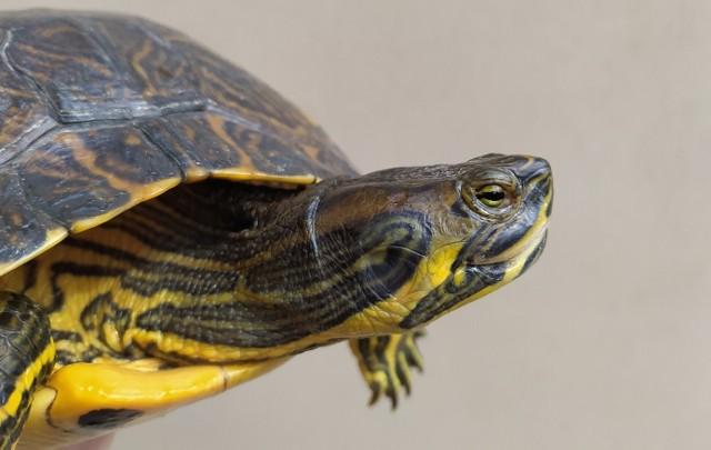 Żółw żółtobrzuchy – inwazyjny gatunek obcy