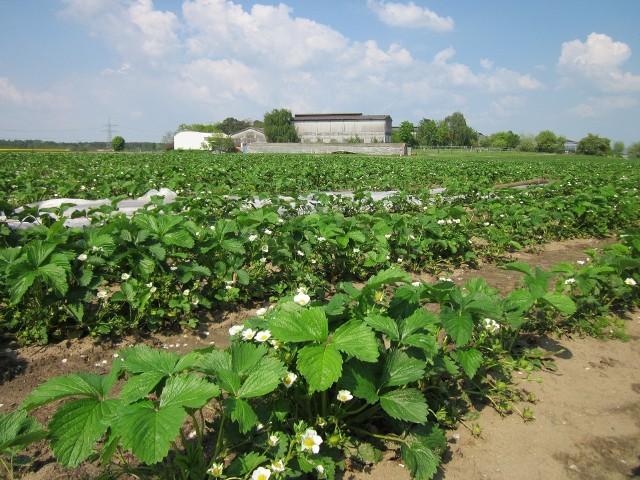 Jedną z popularniejszych prac sezonowym u rolników jest zbiór truskawek