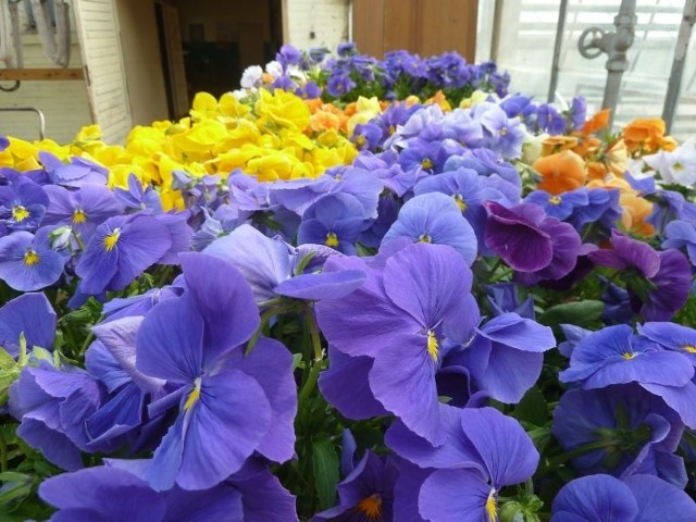 Kolorowe bratkiHitem tego sezonu są urocze bratki. Kwiaty te mają różne kolory.  Dotychczas nie udało się wyhodować chyba jedynie bratków z zielonymi kwiatami.