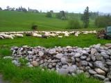 Teraz tzw. 500 plus do krów i świń, w przyszłości może być do innych zwierząt