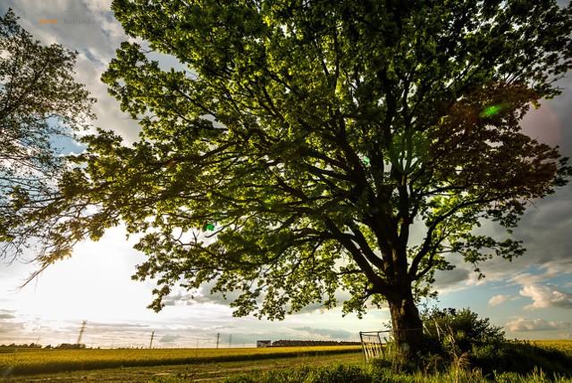 Czy Drzewo Roku rośnie w Gliwicach? W konkursie bierze udział dąb Joshua Tree z Wilczych Dołów. Zobacz kolejne zdjęcia. Przesuwaj zdjęcia w prawo - naciśnij strzałkę lub przycisk NASTĘPNE
