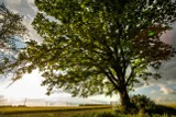 Czy Drzewo Roku rośnie w Gliwicach? W konkursie bierze udział dąb Joshua Tree z Wilczych Dołów