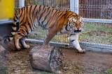Olga Tokarczuk wspiera uratowane tygrysy w poznańskim zoo. Noblistka przekazała swoją książkę z autografem, na wsparcie budowy azylu