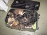 Bydgoszczanin upchnął w walizce 11 szczeniaków