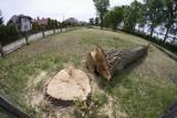 Szkolna: Krzysztof Kononowicz przeciw wycince drzew