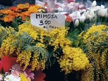 Kwiaty mimozy Fot. autor