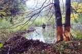 """Czy bobry mogą uchronić nas przed nadchodzącą suszą? O budowniczych tam w Bieszczadach opowiada """"tańczący z bobrami"""", czyli Antoni Derwich"""
