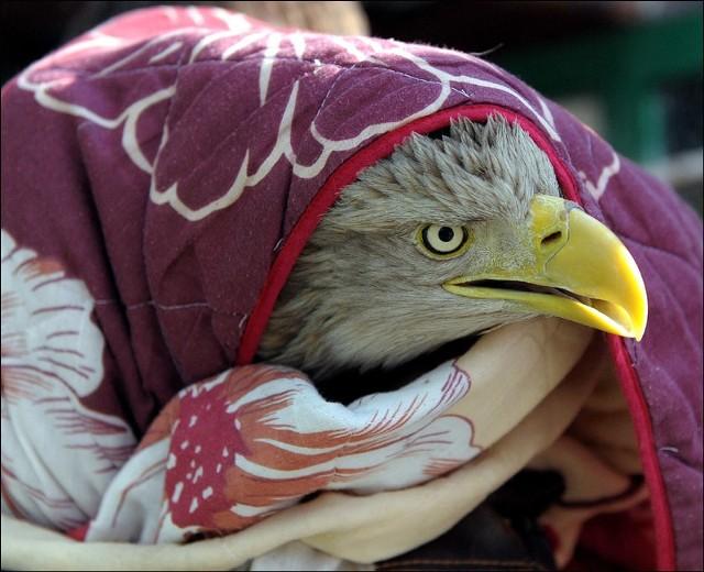W Starzawie wypuszczono bielikaBielik, który w drugiej polowie lutego br. trafil do Ośrodka Rehabilitacji Zwierząt Chronionych w Przemyślu, dzisiaj wrócil na wolnośc. W okolicy Starzawy wypuścil go Kuba Kotowicz, wolontariusz tej placówki.