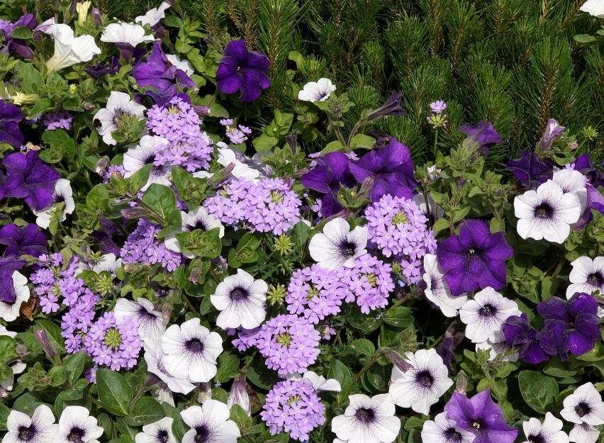 Fioletowe kwiaty wytwarza całkiem sporo roślin. Jest to...