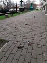 Raport o ofiarach petard, fajerwerków 2019/2020 na facebooku. Po sylwestrze z ulic w całej Polsce zbierano martwe i zaginione zwierzęta