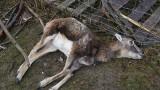 Wataha wilków zaatakowała gospodarstwo agroturystyczne w Woli Łagowskiej! Zagryzły sześć danieli i muflonów. To pierwszy taki przypadek