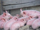 Pilne! Afrykański pomór świń znów atakuje chlewnie - małe i duże