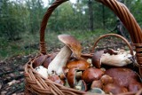 Coraz więcej grzybów na Dolnym Śląsku. To już mały wysyp! (GDZIE JECHAĆ, LOKALIZACJE)