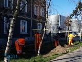 Poznań: 33 drzewa posadzono na Wildzie, w zamian za cztery uszkodzone w czasie remontu