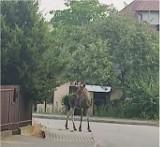Kielecki Baranówek odwiedził... łoś. Zwierząt jest coraz więcej i pojawiają się wśród ludzi (ZDJĘCIA)