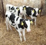 Mama krowa Iska i tata buhaj Jail przywitali na świecie trojaczki!