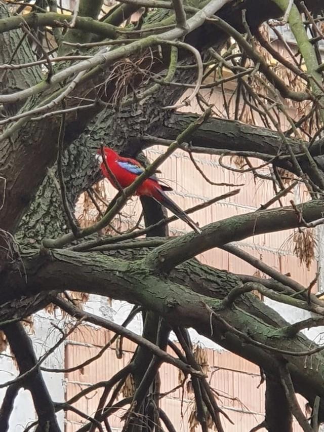 Od kilku dni mieszkańcy ul. Mazurskiej (Górna) obserwują papużkę, która uciekła opiekunowi  Animal Patrol próbował ją odłowić, ale papużka zniknęła.Czytaj wiecej na następnej stronie