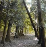 Tajemnicze i niezwykłe miejsca w naszych lasach: Tuje w środku lasu