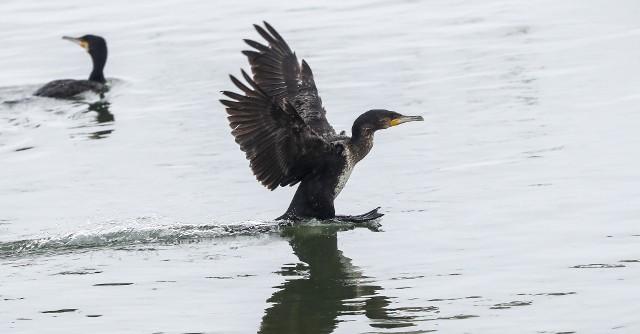 Stado kormoranów niemal codziennie można podziwiać na Wisłoku na wysokości Olszynek.