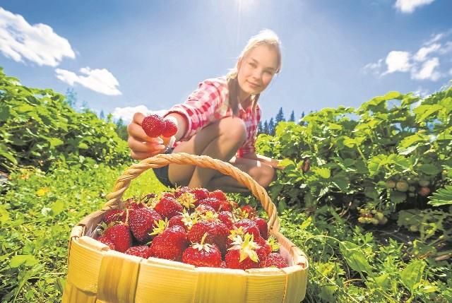 Przez program 500 plus nie ma chętnych do prac sezonowychWielu plantatorów przyznaje, że brakuje rąk do pracy, dlatego sprowadzają ludzi z Ukrainy