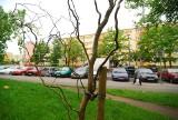 Magnolie przy ul. Piotra Skargi, glediczje - przy Sobieskiego, akacje przy Planu 6-letniego. Na każde drzewo w Bydgoszczy jest gwarancja