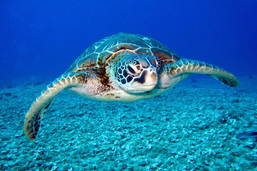 Żółw szylkretowy...
