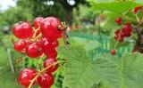 Krzewy owocowe w ogrodzie - kiedy je sadzić i jak uprawiać?
