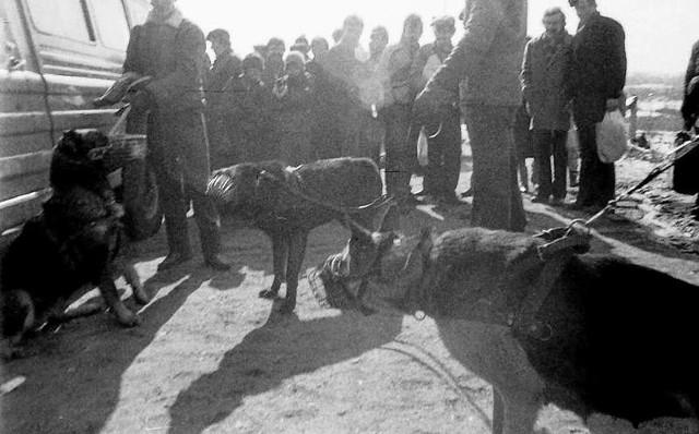 """Nielegalne walki psów, nazywane dziś """"psim wrestlingiem"""", były zawsze okrutnym procederem uprawianym przez przestępców, dla których był to hazard, krwawe emocje i wielkie pieniądze. W latach 80. i 90. XX wieku, kiedy w Łodzi  wyszły z cienia lokalne gangi, rozkwitał bazarowy świat bez podatku, cła i akcyzy,  który rządził się prawem silniejszego. Walki psów stały się krwawym widowiskiem, rozrywką dla tych, którzy pod parawanem legalnych interesów zbijali fortuny na przemycie atrakcyjnych towarów, korzystając z braku odpowiednich narzędzi prawnych. Czytaj, zobacz ZDJĘCIA na kolejnych slajdach"""