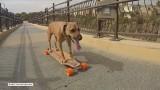 Pies, który jeździ... na deskorolce