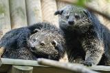 Mangustoliski i binturongi. Nowe zwierzaki w krakowskim zoo